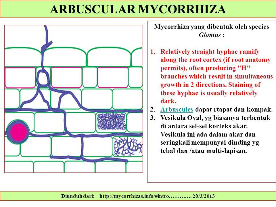 Diunduh dari: http://mycorrhizas.info/#intro…………. 20/3/2013 Mycorrhiza yang dibentuk oleh species Glomus : 1.Relatively straight hyphae ramify along t