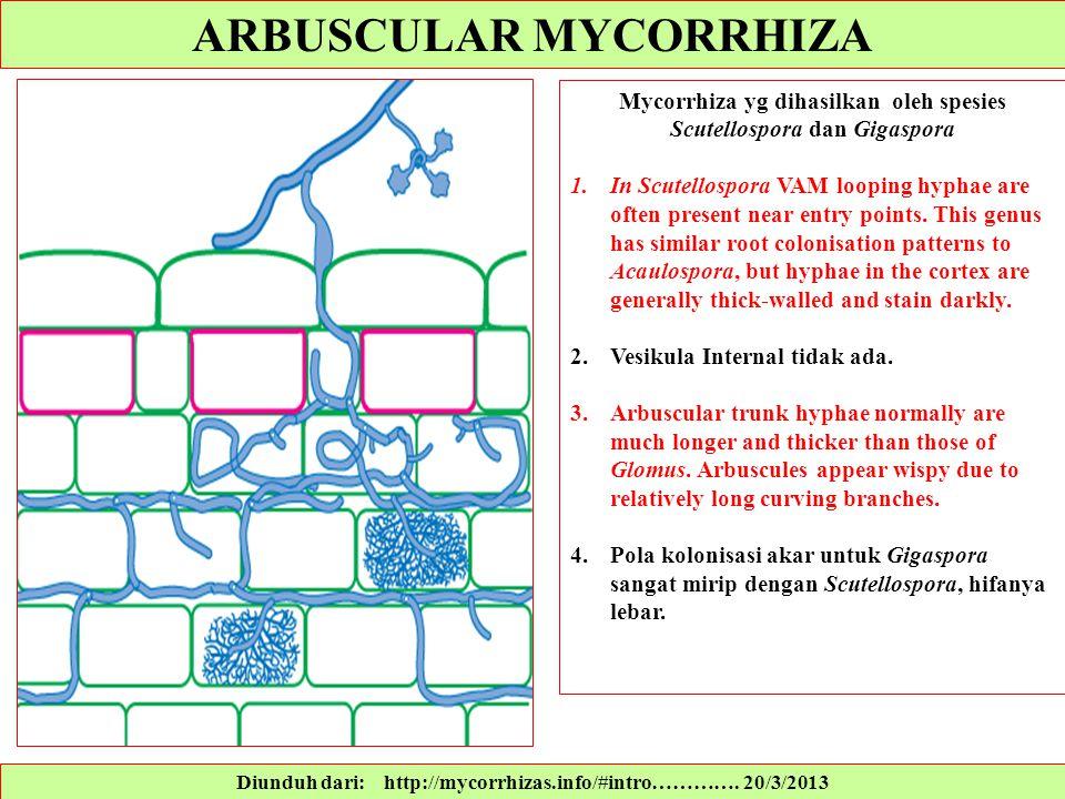 Diunduh dari: http://mycorrhizas.info/#intro…………. 20/3/2013 Mycorrhiza yg dihasilkan oleh spesies Scutellospora dan Gigaspora 1.In Scutellospora VAM l