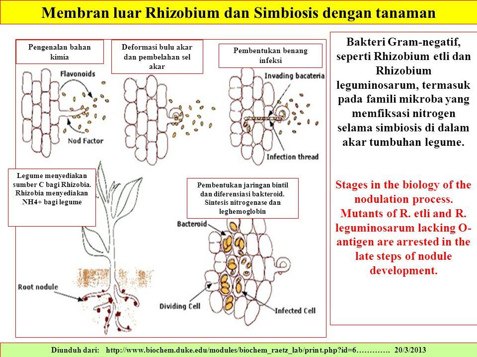 Diunduh dari: http://www.biochem.duke.edu/modules/biochem_raetz_lab/print.php?id=6…………. 20/3/2013 Bakteri Gram-negatif, seperti Rhizobium etli dan Rhi