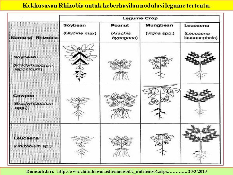 Diunduh dari: http://www.ctahr.hawaii.edu/mauisoil/c_nutrients01.aspx…………. 20/3/2013 Kekhususan Rhizobia untuk keberhasilan nodulasi legume tertentu.