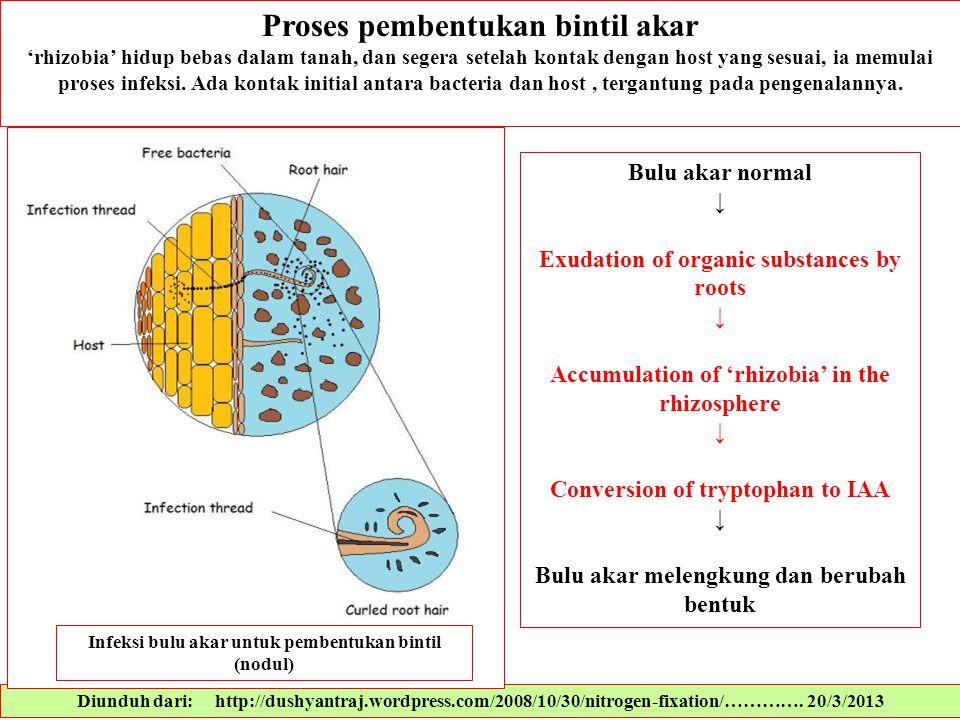 Diunduh dari: http://dushyantraj.wordpress.com/2008/10/30/nitrogen-fixation/…………. 20/3/2013 Proses pembentukan bintil akar 'rhizobia' hidup bebas dala