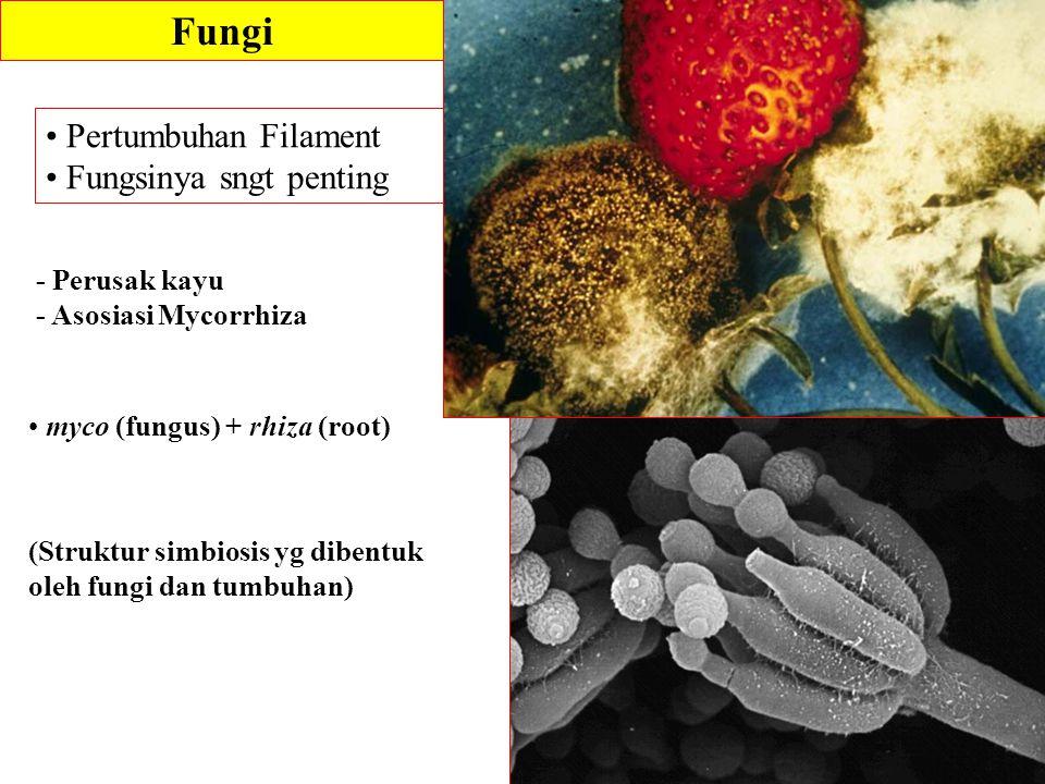 Fungi Pertumbuhan Filament Fungsinya sngt penting - Perusak kayu - Asosiasi Mycorrhiza myco (fungus) + rhiza (root) (Struktur simbiosis yg dibentuk ol