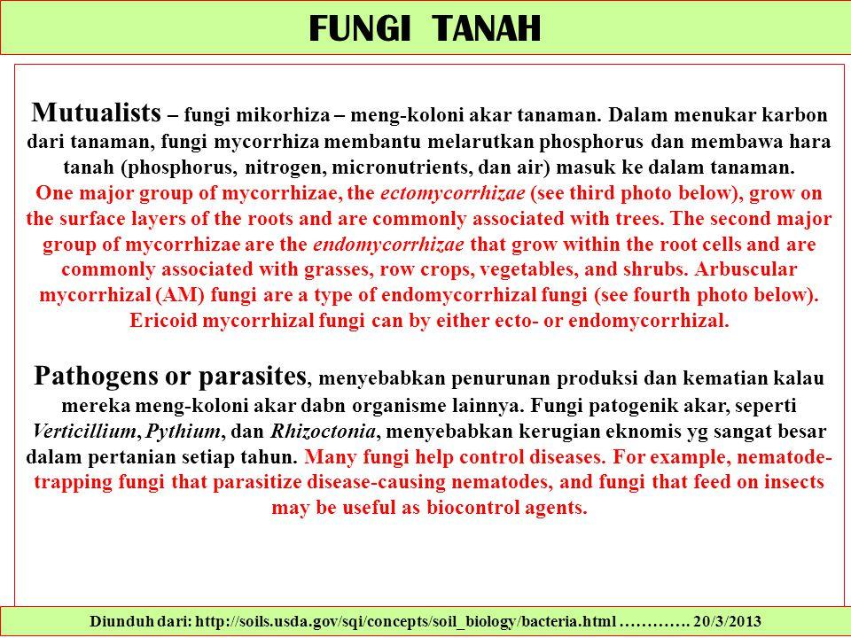 FUNGI TANAH Mutualists – fungi mikorhiza – meng-koloni akar tanaman. Dalam menukar karbon dari tanaman, fungi mycorrhiza membantu melarutkan phosphoru