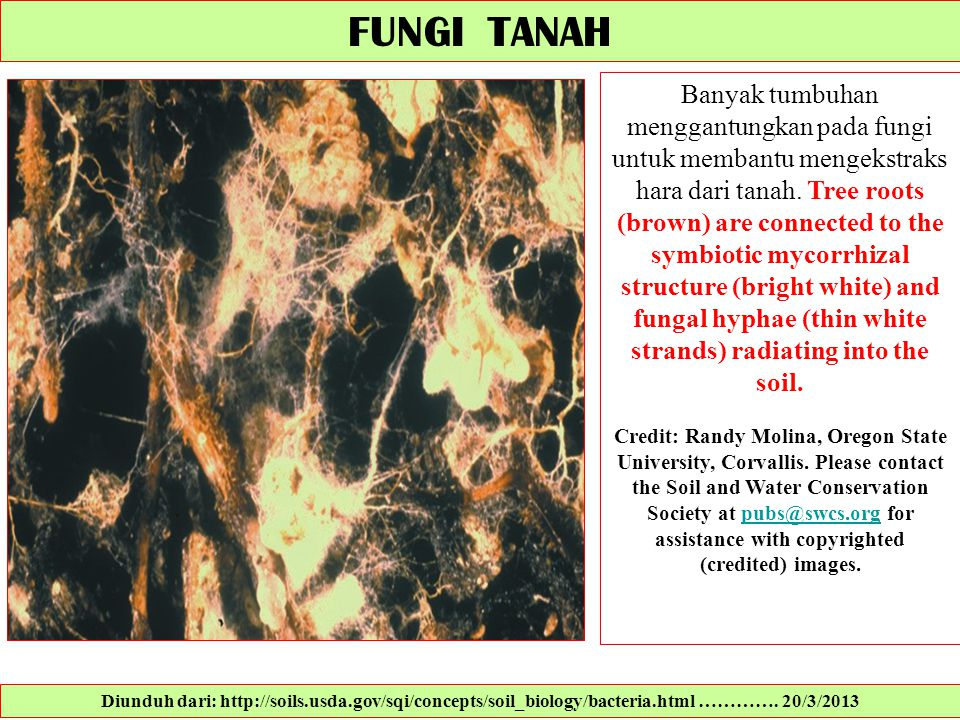FUNGI TANAH Banyak tumbuhan menggantungkan pada fungi untuk membantu mengekstraks hara dari tanah. Tree roots (brown) are connected to the symbiotic m