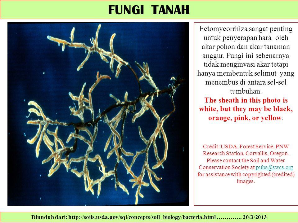 FUNGI TANAH Ectomycorrhiza sangat penting untuk penyerapan hara oleh akar pohon dan akar tanaman anggur. Fungi ini sebenarnya tidak menginvasi akar te