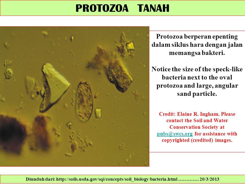 PROTOZOA TANAH Protozoa berperan epenting dalam siklus hara dengan jalan memangsa bakteri. Notice the size of the speck-like bacteria next to the oval