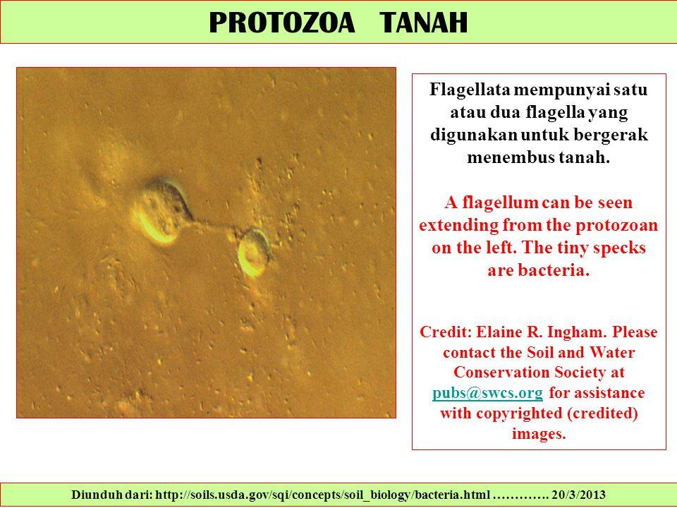 PROTOZOA TANAH Flagellata mempunyai satu atau dua flagella yang digunakan untuk bergerak menembus tanah. A flagellum can be seen extending from the pr