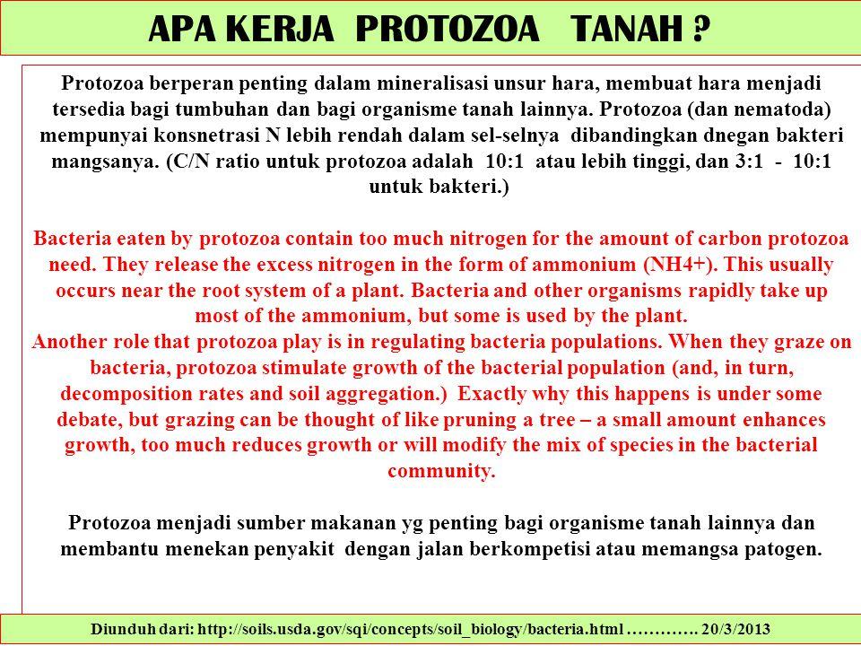 APA KERJA PROTOZOA TANAH ? Protozoa berperan penting dalam mineralisasi unsur hara, membuat hara menjadi tersedia bagi tumbuhan dan bagi organisme tan