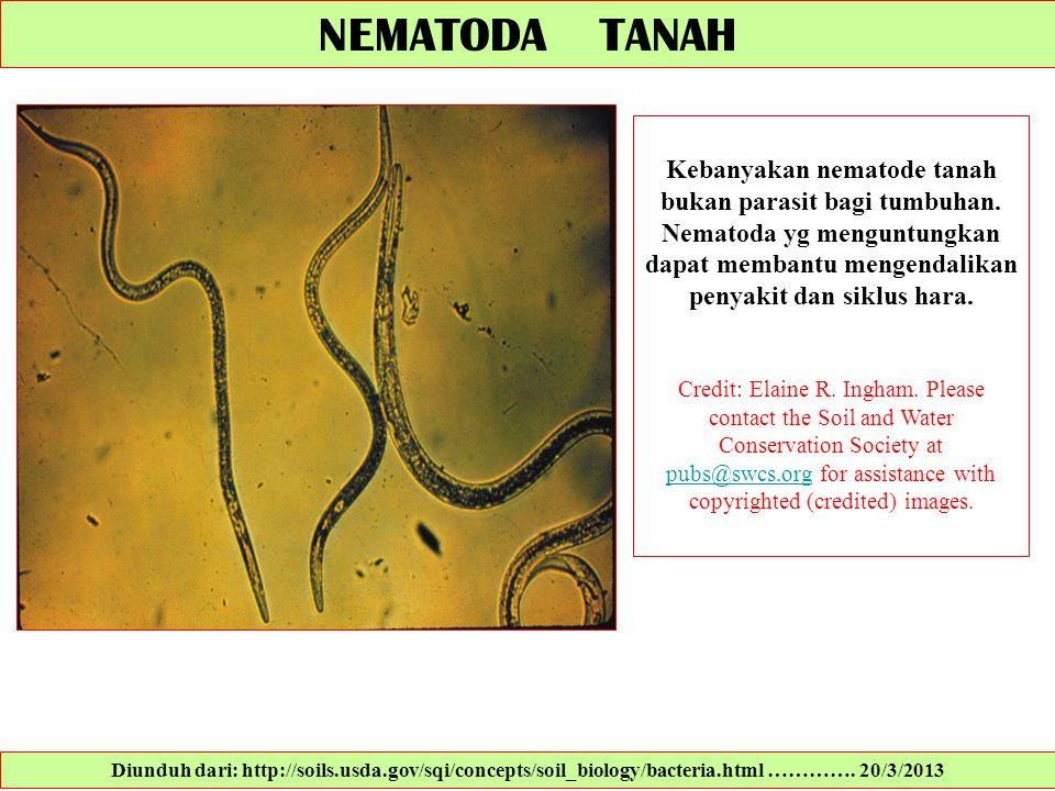 NEMATODA TANAH Kebanyakan nematode tanah bukan parasit bagi tumbuhan. Nematoda yg menguntungkan dapat membantu mengendalikan penyakit dan siklus hara.