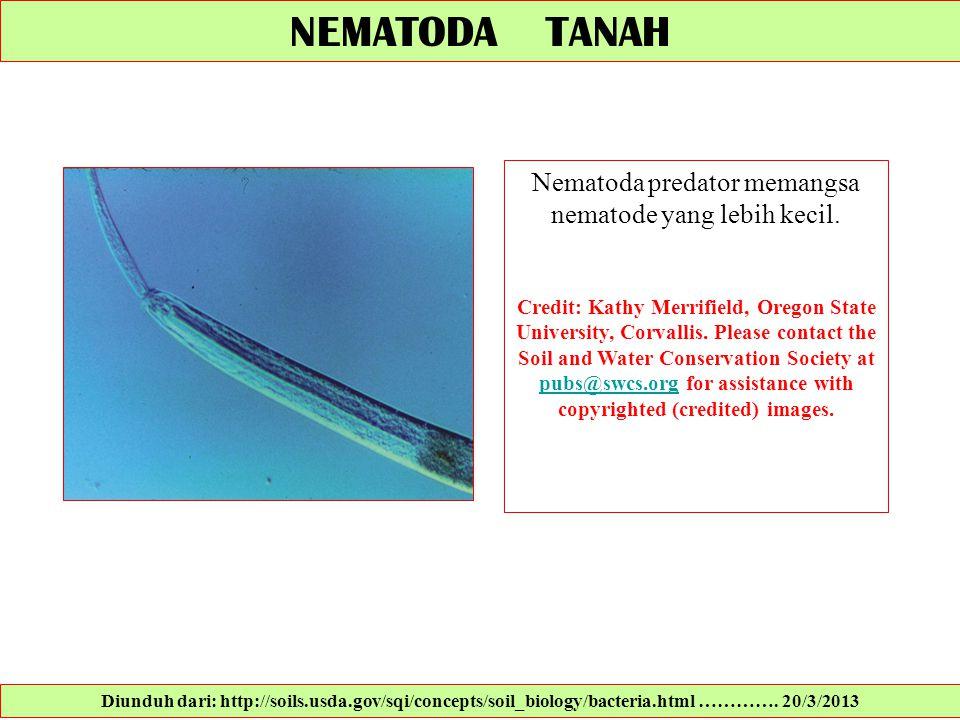 NEMATODA TANAH Nematoda predator memangsa nematode yang lebih kecil. Credit: Kathy Merrifield, Oregon State University, Corvallis. Please contact the