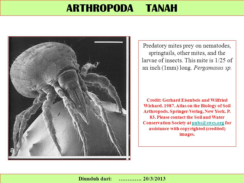 ARTHROPODA TANAH Diunduh dari: …………. 20/3/2013 Predatory mites prey on nematodes, springtails, other mites, and the larvae of insects. This mite is 1/
