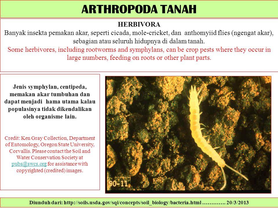 Jenis symphylan, centipeda, memakan akar tumbuhan dan dapat menjadi hama utama kalau populasinya tidak dikendalikan oleh organisme lain. Credit: Ken G