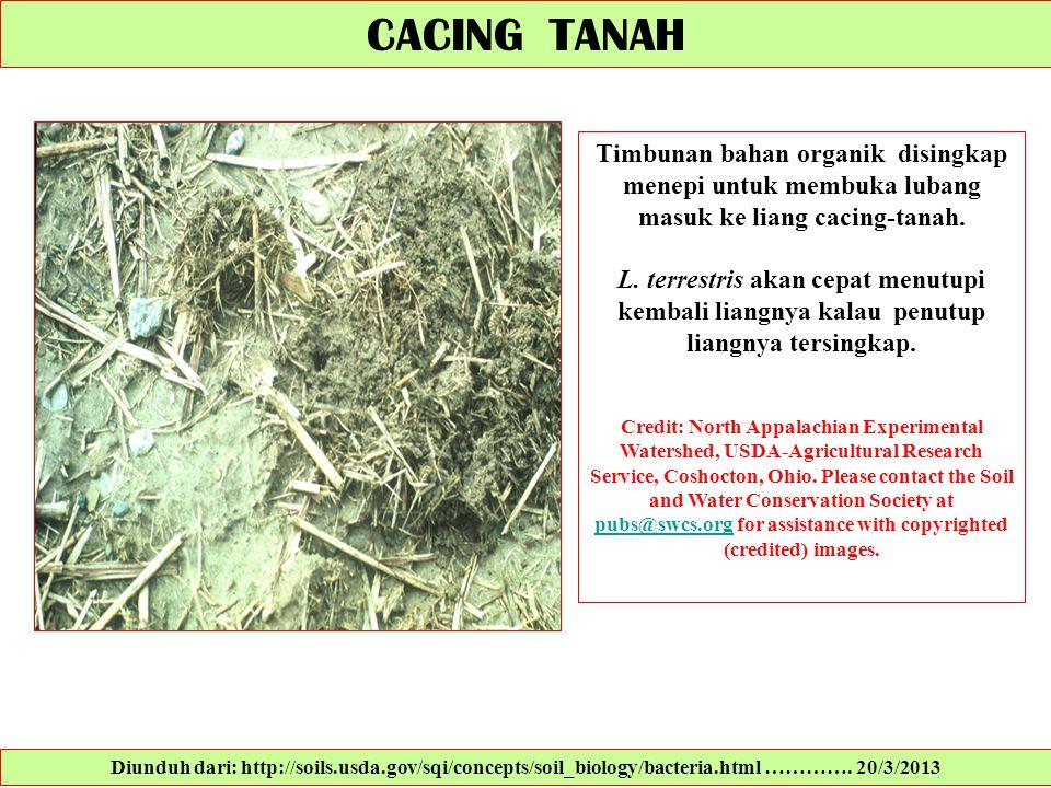 Timbunan bahan organik disingkap menepi untuk membuka lubang masuk ke liang cacing-tanah. L. terrestris akan cepat menutupi kembali liangnya kalau pen