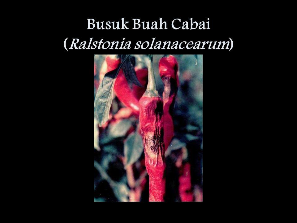 Busuk Buah Cabai (Ralstonia solanacearum)