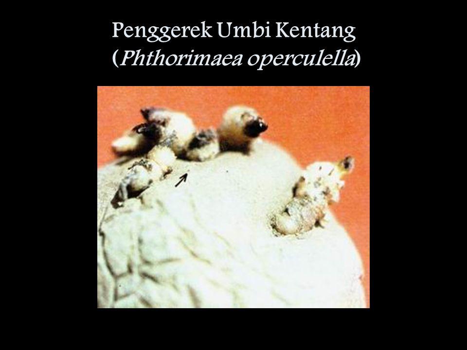 Penggerek Umbi Kentang (Phthorimaea operculella)