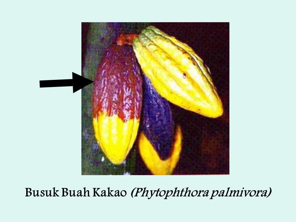 Busuk Buah Kakao (Phytophthora palmivora)