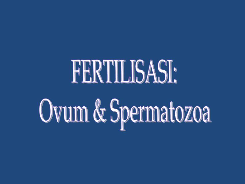 Dua mekanisme menghambat polispermia: 1.Spermatozoa memicu masuknya ion Na  depolarisasi, yang menghambat pengikatan spermatozoa lain (fast block) 2.Spermatozoa merangsang pelepasan ion Ca  fusi vesikula kortikal secara exositosis dengan membran plasma, dengan melepaskan tripsin-protease untuk merusak ikatan spermatozoa pada membran vitelline, ruang kosong tersebut diisi oleh cairan, shg membran vitelline membentuk dinding lebih permanen (slow block).