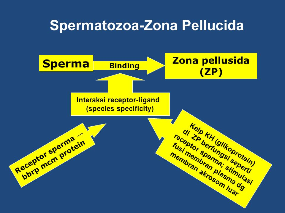 Spermatozoa-Zona Pellucida Sperma Zona pellusida (ZP) Binding Interaksi receptor-ligand (species specificity) Kelp KH (glikoprotein) di ZP berfungsi seperti receptor sperma; stimulasi fusi membran plasma dg membran akrosom luar Receptor sperma → bbrp mcm protein