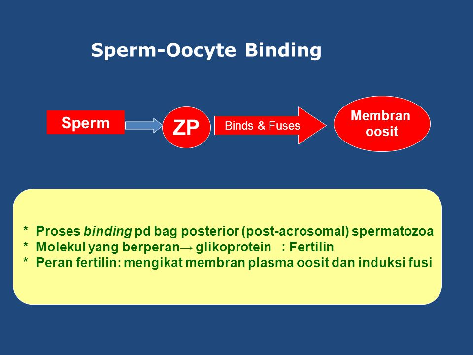 Sperm-Oocyte Binding Sperm ZP Binds & Fuses Membran oosit * Proses binding pd bag posterior (post-acrosomal) spermatozoa * Molekul yang berperan→ glikoprotein : Fertilin * Peran fertilin: mengikat membran plasma oosit dan induksi fusi