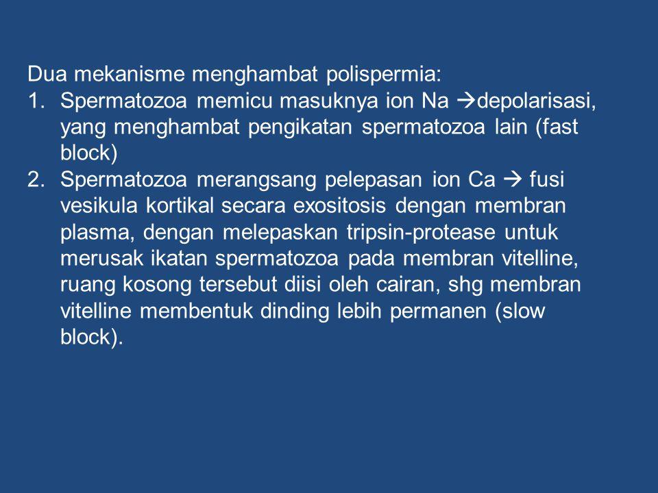 Dua mekanisme menghambat polispermia: 1.Spermatozoa memicu masuknya ion Na  depolarisasi, yang menghambat pengikatan spermatozoa lain (fast block) 2.