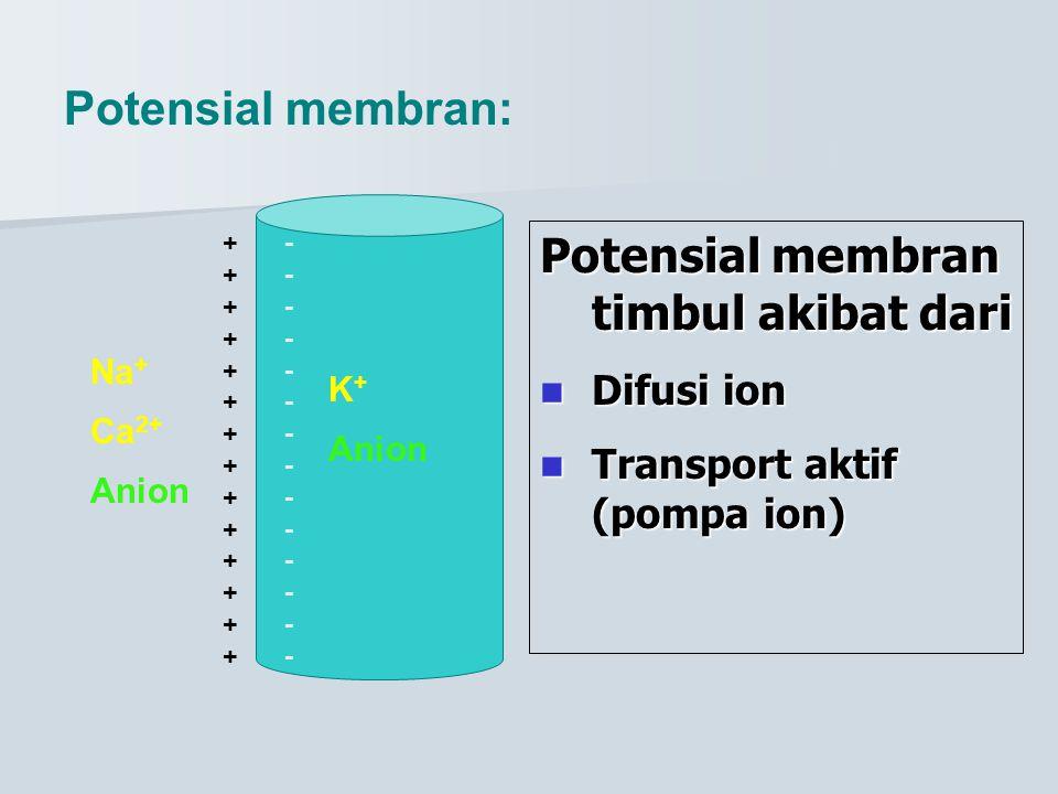 Potensial membran: ++++++++++++++++++++++++++++ ---------------------------- Na + Ca 2+ Anion K + Anion Potensial membran timbul akibat dari Difusi io