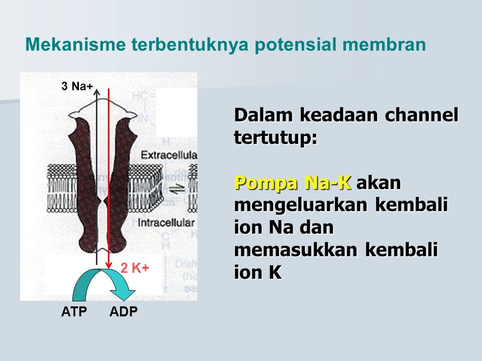 Dalam keadaan channel tertutup: Pompa Na-K akan mengeluarkan kembali ion Na dan memasukkan kembali ion K 3 Na+ 2 K+ ATPADP Mekanisme terbentuknya pote