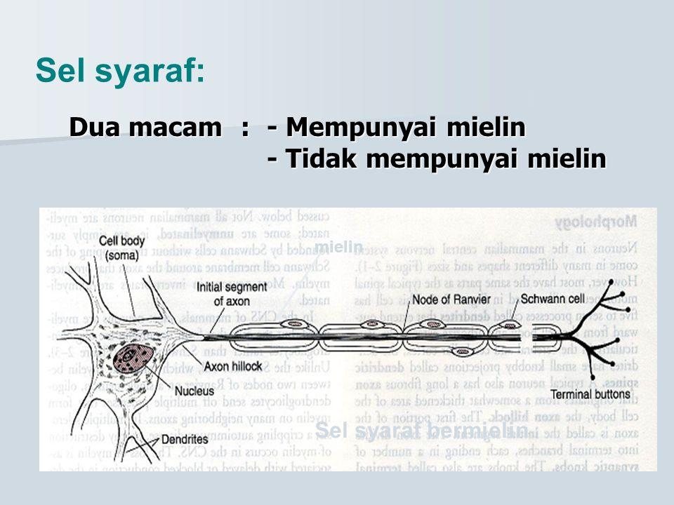 Sel syaraf: Dua macam:- Mempunyai mielin - Tidak mempunyai mielin Sel syaraf bermielin mielin