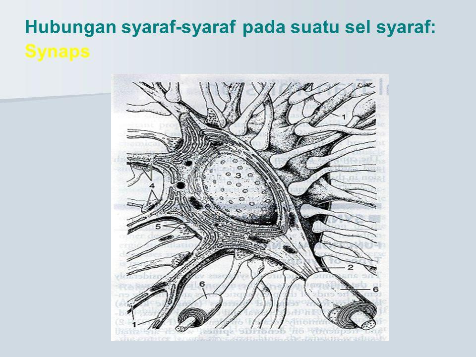 Hubungan syaraf-syaraf pada suatu sel syaraf: Synaps
