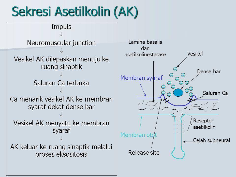 Sekresi Asetilkolin (AK) Impuls Neuromuscular junction  Vesikel AK dilepaskan menuju ke ruang sinaptik  Saluran Ca terbuka  Ca menarik vesikel AK
