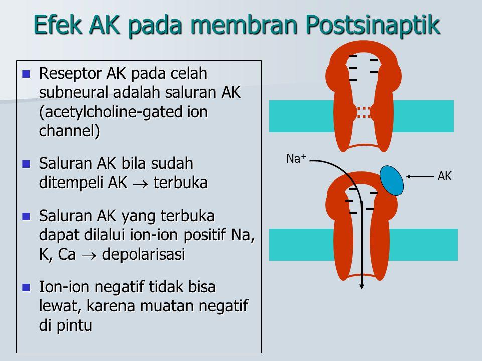 Efek AK pada membran Postsinaptik Reseptor AK pada celah subneural adalah saluran AK (acetylcholine-gated ion channel) Reseptor AK pada celah subneura