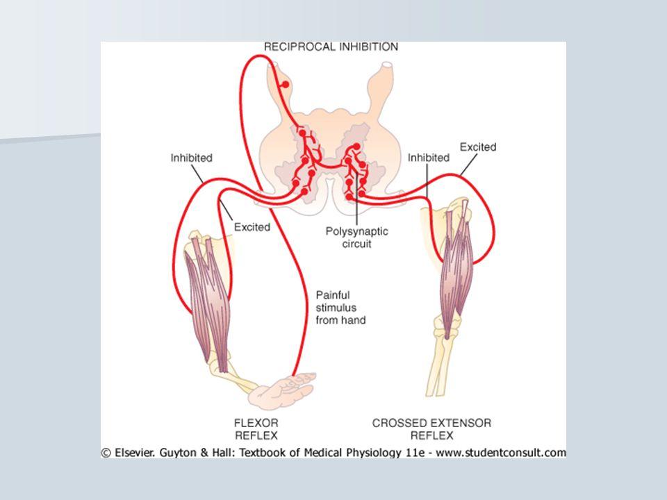 Refleks fisiologis Refleks yang normal ditemukan pada orang sehat Refleks yang normal ditemukan pada orang sehat Contoh : refleks regang Contoh : refleks regang