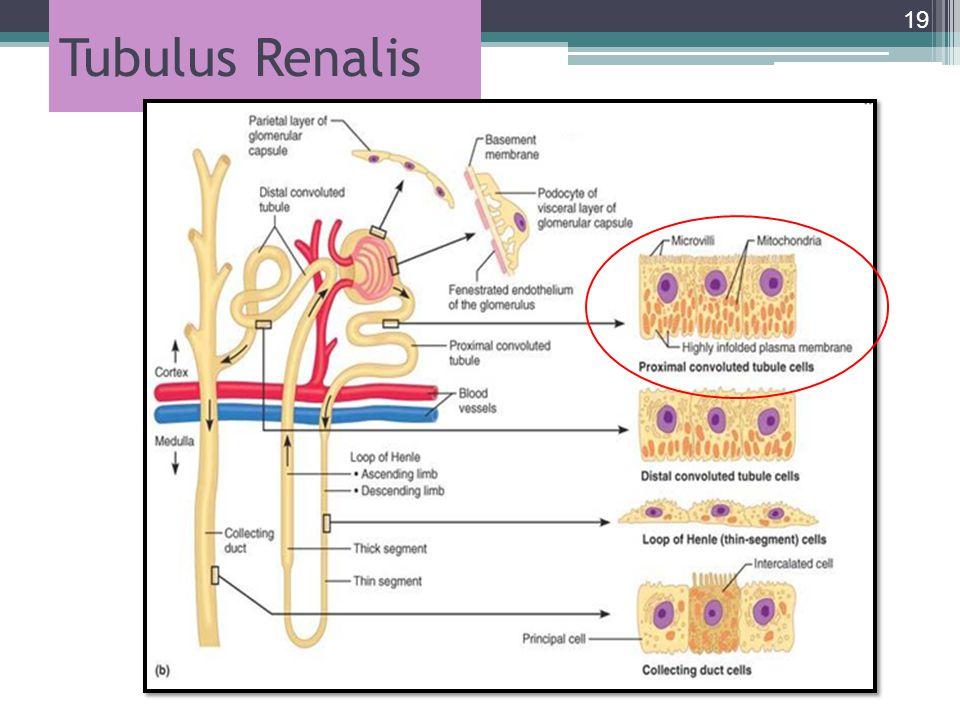 Tubulus Renalis 19