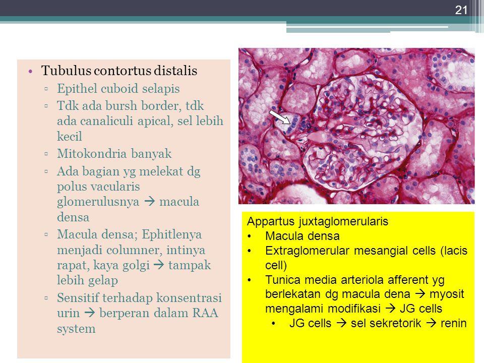 Tubulus contortus distalis ▫Epithel cuboid selapis ▫Tdk ada bursh border, tdk ada canaliculi apical, sel lebih kecil ▫Mitokondria banyak ▫Ada bagian y