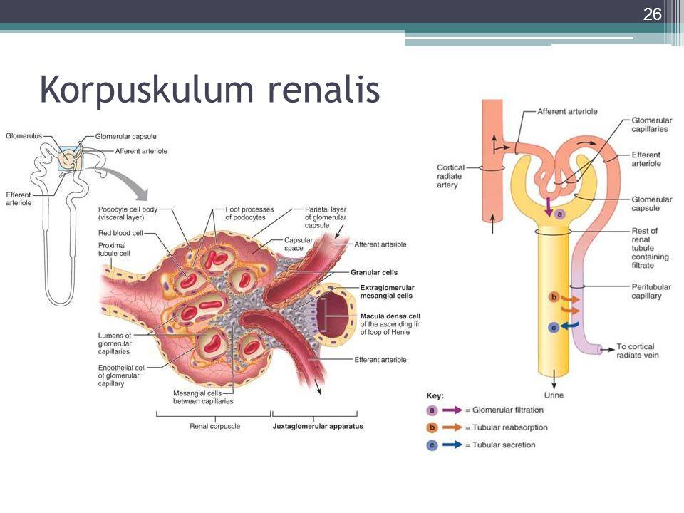 Korpuskulum renalis 26