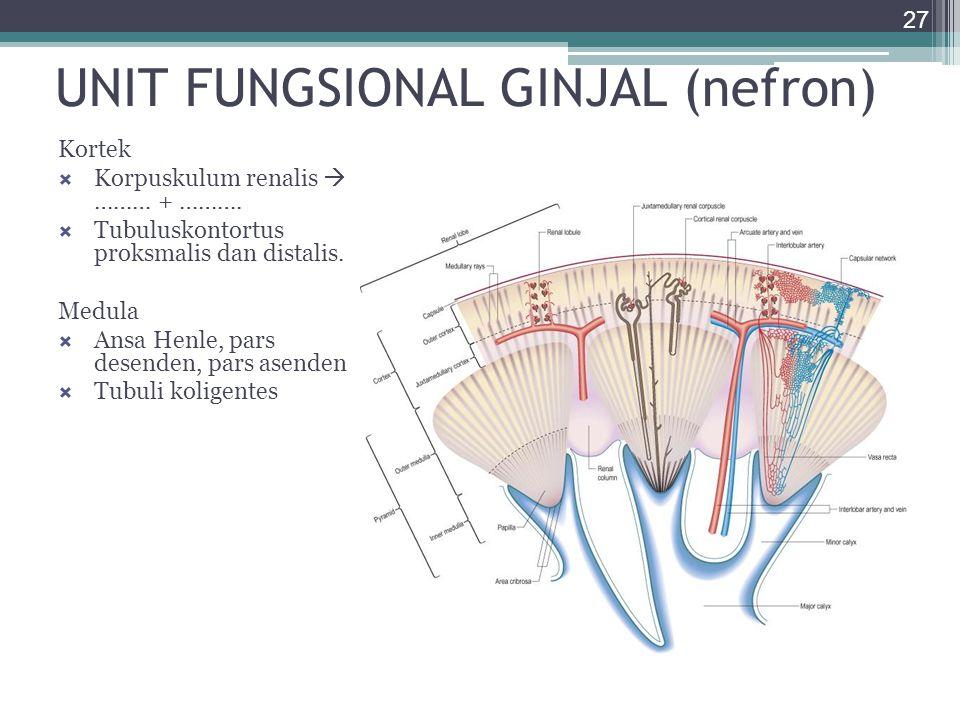 UNIT FUNGSIONAL GINJAL (nefron) 27 Kortek  Korpuskulum renalis  ……… + ……….  Tubuluskontortus proksmalis dan distalis. Medula  Ansa Henle, pars des