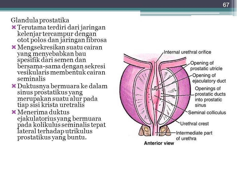 Glandula prostatika  Terutama terdiri dari jaringan kelenjar tercampur dengan otot polos dan jaringan fibrosa  Mengsekresikan suatu cairan yang meny