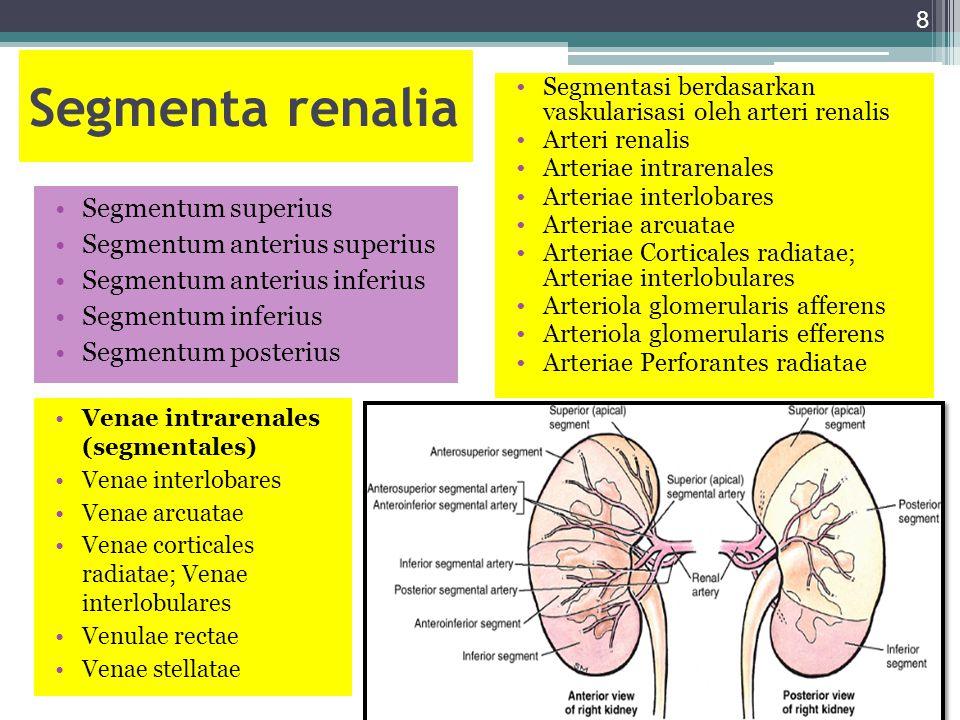 Segmenta renalia Segmentum superius Segmentum anterius superius Segmentum anterius inferius Segmentum inferius Segmentum posterius Segmentasi berdasar