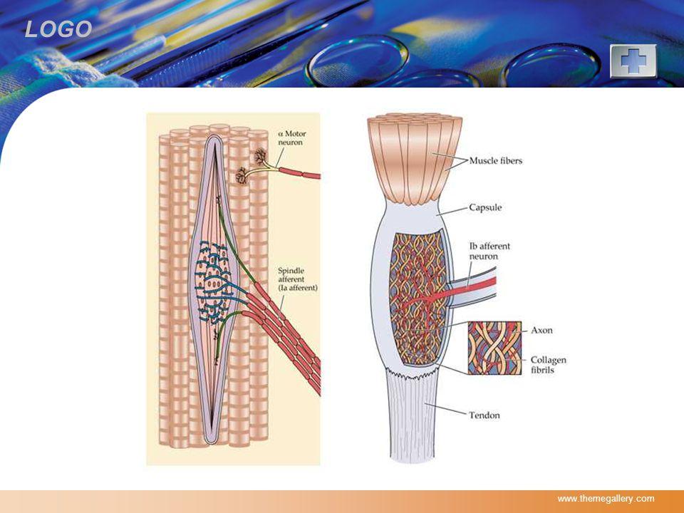 LOGO  Monosynaptic reflex  Refleks regang dari serabut Ia dan II di intrafusal mengeksitasi alpha motor neuron sehingga terjadi kontraksi ekstrafusal pada otot yang sama (homonymous muscle).