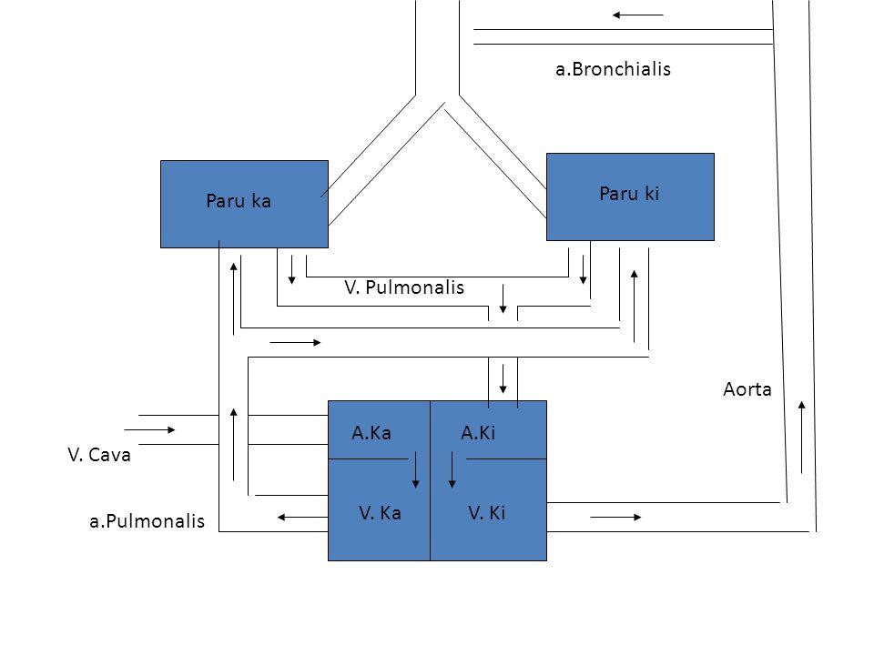 Paru ka Paru ki A.KaA.Ki V. KaV. Ki Aorta a.Bronchialis a.Pulmonalis V. Pulmonalis V. Cava