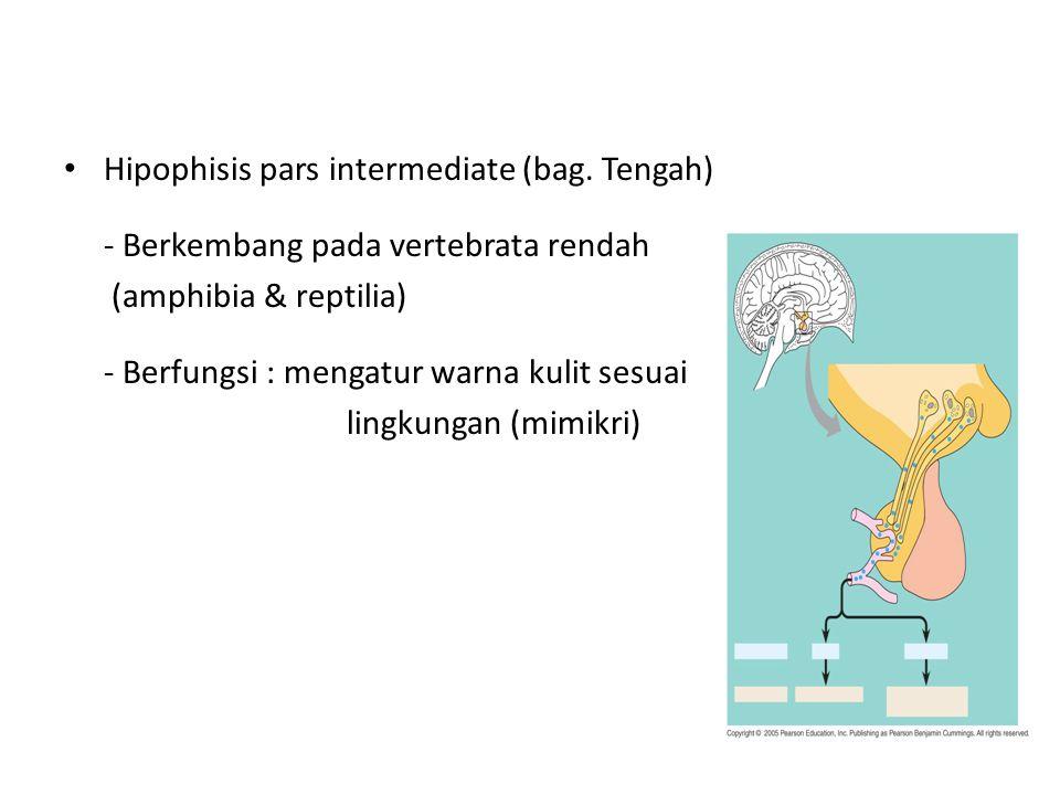 Hipophisis pars intermediate (bag. Tengah) - Berkembang pada vertebrata rendah (amphibia & reptilia) - Berfungsi : mengatur warna kulit sesuai lingkun