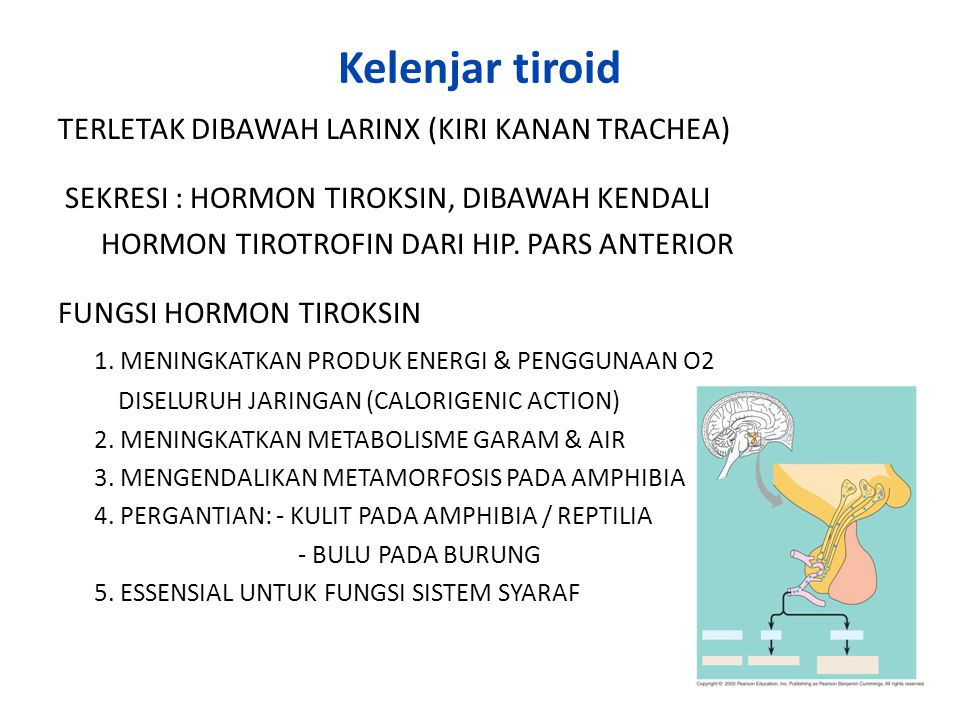Kelenjar tiroid TERLETAK DIBAWAH LARINX (KIRI KANAN TRACHEA) SEKRESI : HORMON TIROKSIN, DIBAWAH KENDALI HORMON TIROTROFIN DARI HIP. PARS ANTERIOR FUNG