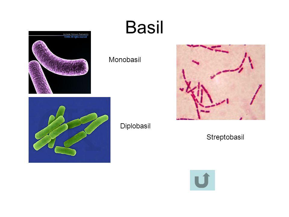 Basil Diplobasil Monobasil Streptobasil