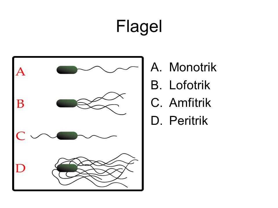 Flagel A.Monotrik B.Lofotrik C.Amfitrik D.Peritrik