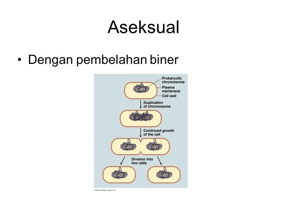 Aseksual Dengan pembelahan biner