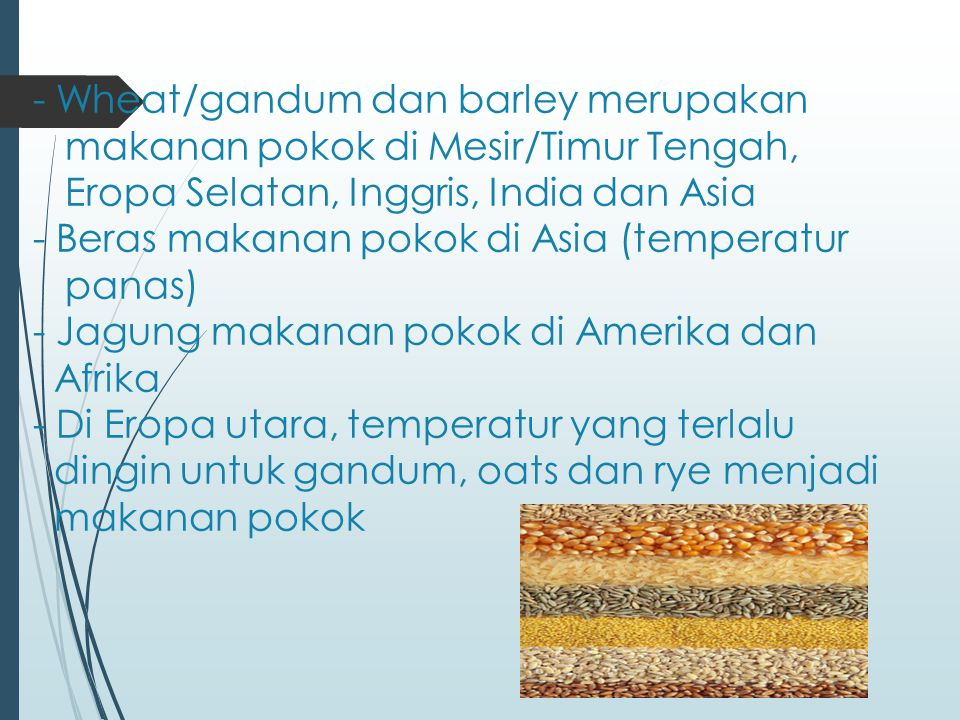 - Wheat/gandum dan barley merupakan makanan pokok di Mesir/Timur Tengah, Eropa Selatan, Inggris, India dan Asia - Beras makanan pokok di Asia (tempera
