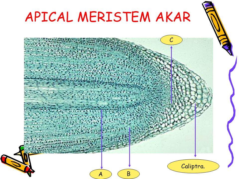 PERTUMBUHAN Pertumbuhan primer. (ujung akar dan ujung batang) Pertumbuhan sekunder. (aktifitas kambium dan hanya terjadi pada gymnospermae dan dikotil