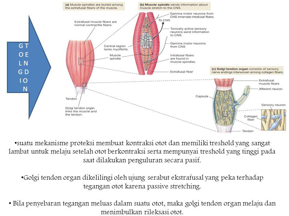 suatu mekanisme proteksi membuat kontraksi otot dan memiliki treshold yang sangat lambat untuk melaju setelah otot berkontraksi serta mempunyai treshold yang tinggi pada saat dilakukan penguluran secara pasif.