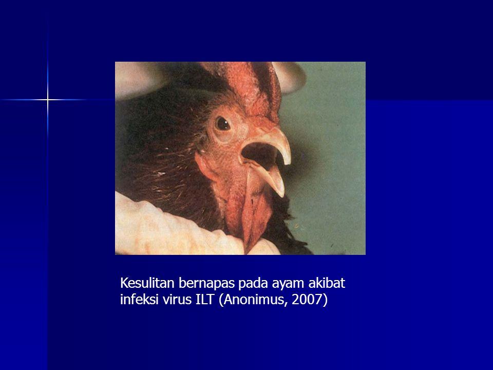 Kantong udara Abdominal berisi eksudat kaseosa kuning (Anonimus, 2007)