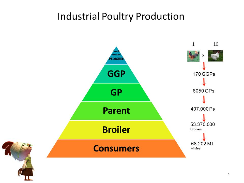 Industrial Poultry Production 170 GGPs X 101 8050 GPs 407.000 Ps 53.370.000 Broilers 68.202 MT of Meat 2