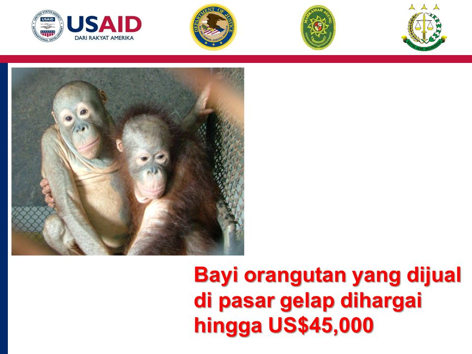 Bayi orangutan yang dijual di pasar gelap dihargai hingga US$45,000